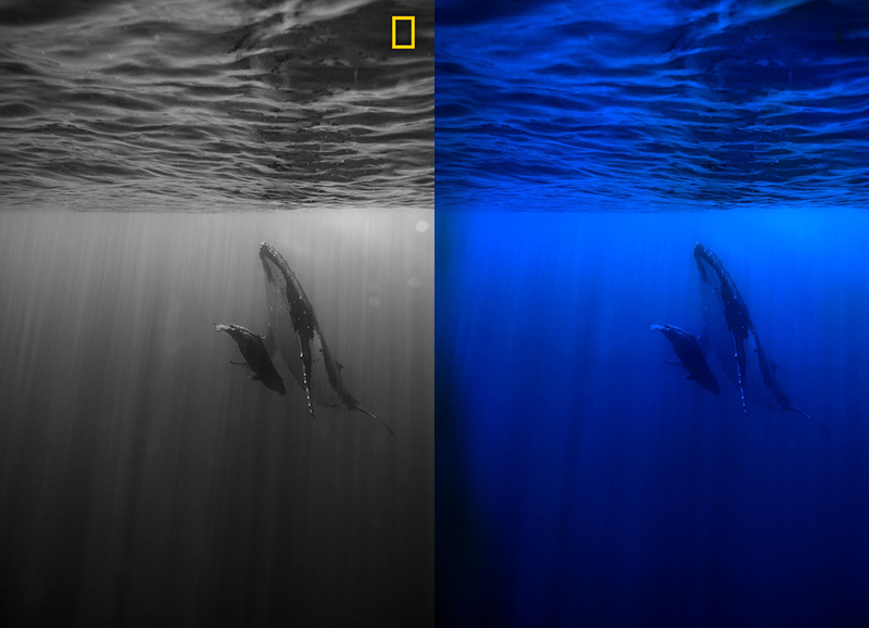 Black and white version versus color version of photo of whale and calf about to break the surface of water for air